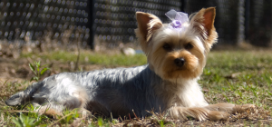Yorki with Bow